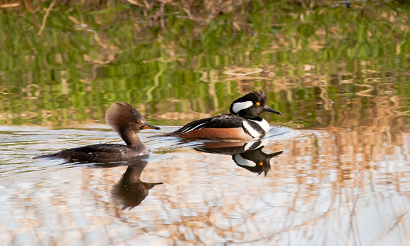 Hooded Merganser Drake and Hen